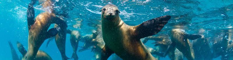 Sea Lions swimming off the South Australian coast